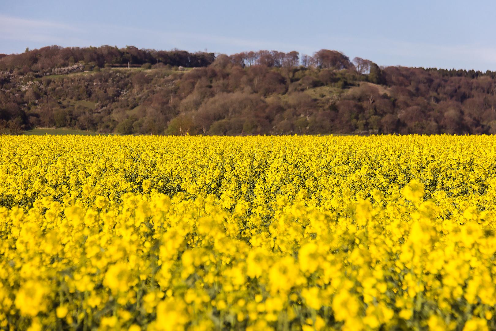 A rapeseed field in Buckinghamshire