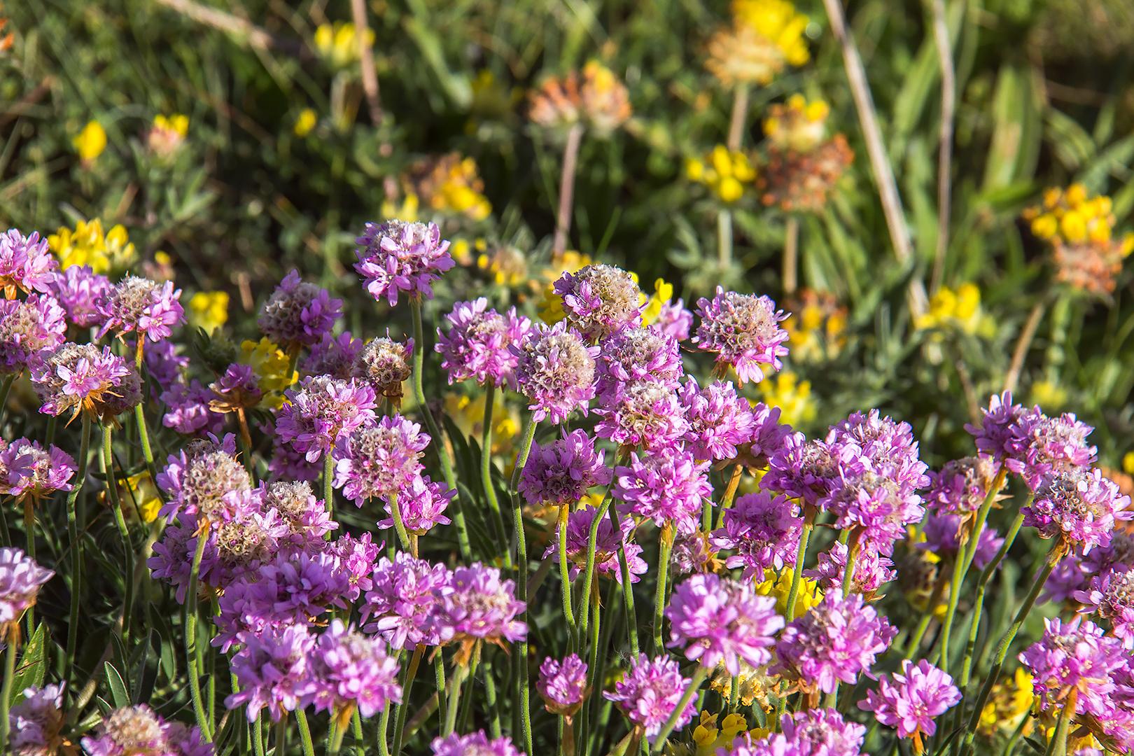 Wildflowers in Cornwall