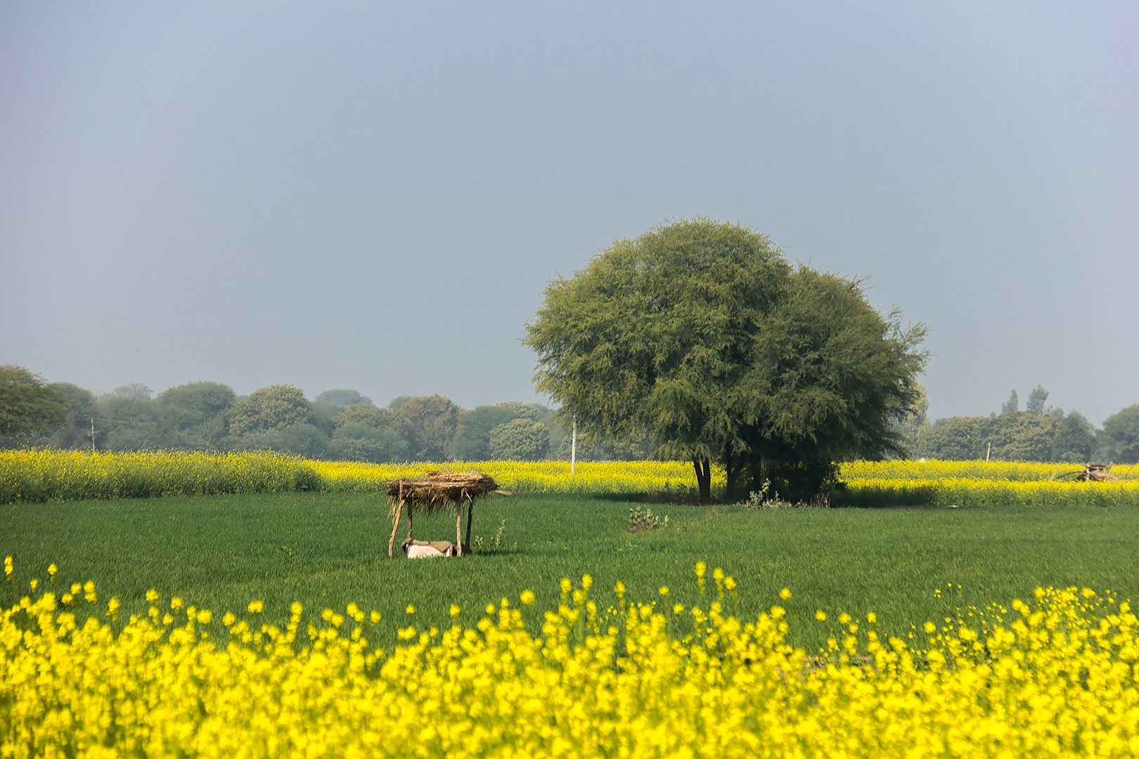 A field in Rajasthan