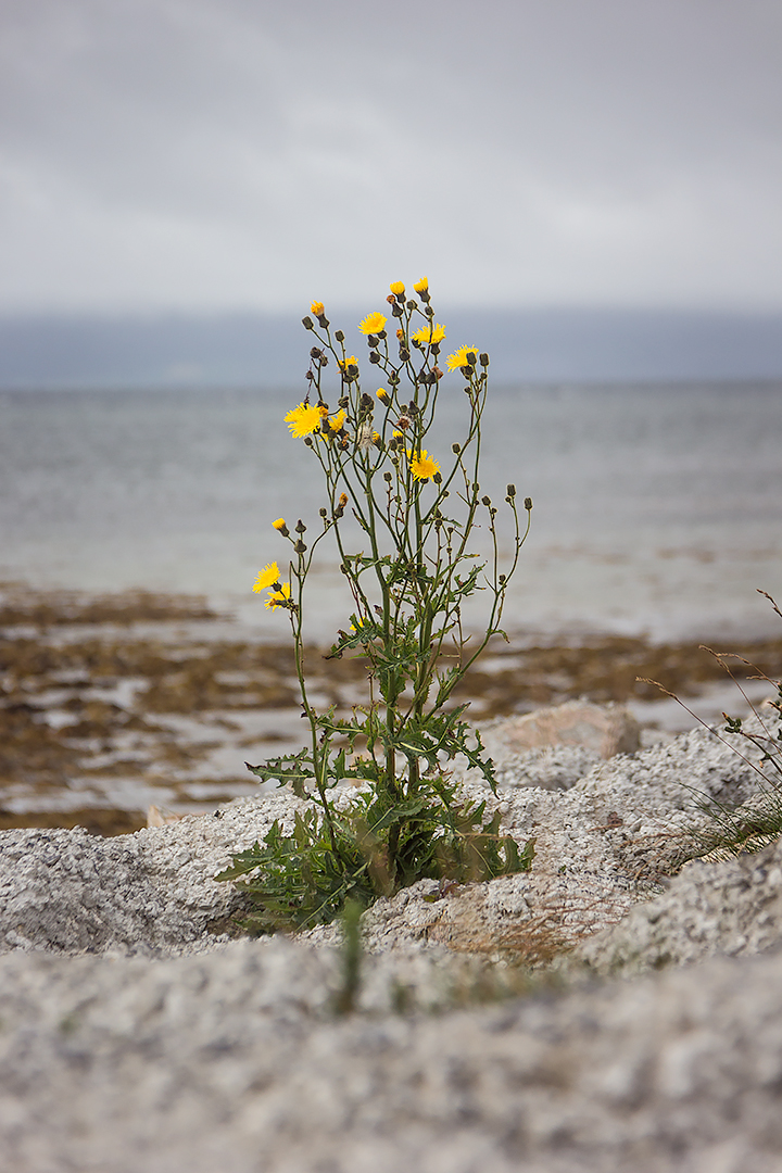 Flowers on the shores of Galway