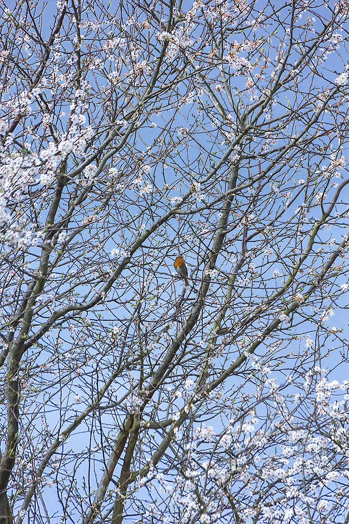 A robin amongst blossoms