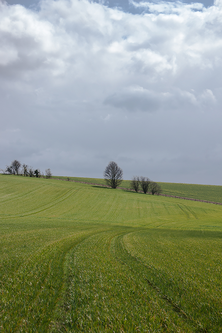 A tree in a field along the South Downs Way